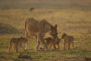 Löwin mit Jungen foto
