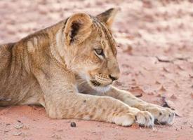 Löwenbaby lag auf braunem Sand foto