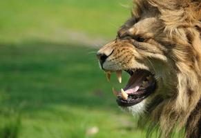 wütender Löwe foto