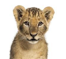 Nahaufnahme des Löwenjungen, der Kamera betrachtet, 10 Wochen alt