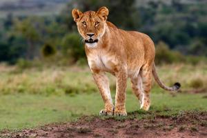 Löwin beobachtete drei Geparden und macht sich bereit, sie zu jagen
