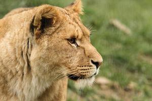 weiblicher afrikanischer Löwe foto