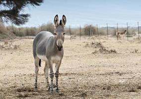 somalischer wilder Esel (equus africanus) im israelischen Naturschutzgebiet