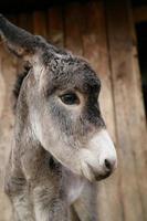 sehr süßer junger Esel foto