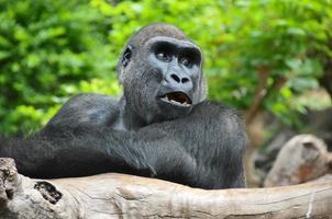 schwarzer Gorilla, der auf einem Holzpfahl ruht foto