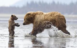 Braunbärenjunges in Schwierigkeiten foto