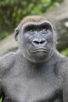 Gorilla foto