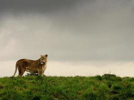Löwin gegen einen stürmischen Himmel foto