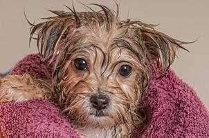 Welpe wird nach seinem Bad trocken
