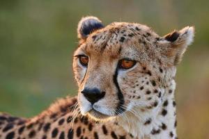 Gepard Porträt foto