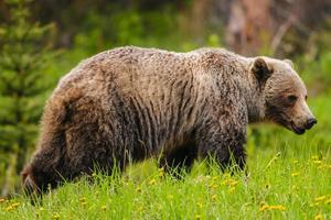 Grizzlybär (ursus arctos horribilis) foto