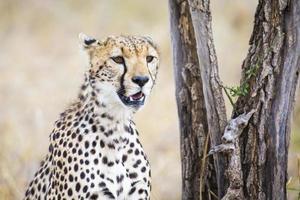 Gepard kümmert sich um Beute in Serengeti foto