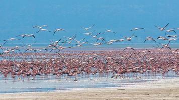 Herden von Flamingos im Sonnenaufgang, See Nakuru, Kenia