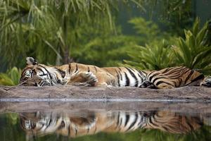 Tiger schlafen foto