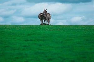 Zebra auf einem Hügel foto