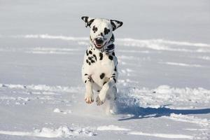 dalmatinischer Hund, der im Schnee läuft und springt foto