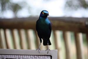 Lamprotornis chalybaeus, afrikanischer Stern, blauer glänzender Vogel in Südafrika foto