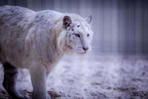 erwachsener weißer Tiger foto