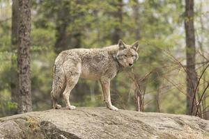 Kojote in einem Wald foto