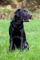 schwarzer Labrador Retriever foto
