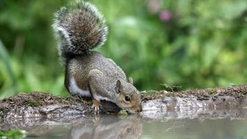 graues Eichhörnchen, Sciurus carolinensis