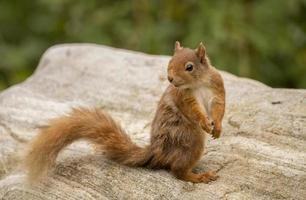 rotes Eichhörnchen sitzt auf einem Felsen foto