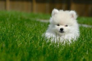 weißer pommerscher Welpe auf Rasen