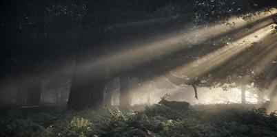 Rotwildhirsch beleuchtet durch Sonnenstrahlen durch Waldlandschaft foto