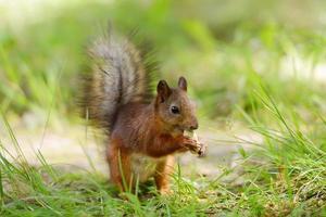 Eichhörnchen sitzt auf einem Gras