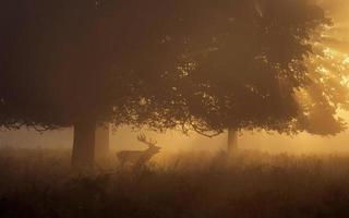Rotwildhirsch brüllt im Morgengrauen! foto