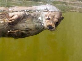 Europäischer Otter (Lutra Lutra Lutra) foto