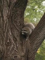 Waschbär kommt vom Baum herunter