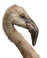 Nahaufnahme des chilenischen Flamingos, Phoenixicus chilensis