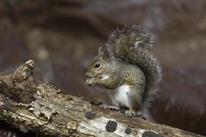 Eichhörnchen auf einem Ast foto