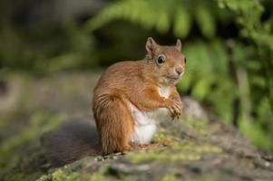 rotes Eichhörnchen, Sciurus vulgaris, sitzend auf einem Baumstamm