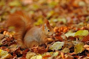 Rotes Eichhörnchen, das mit Haselnuss auf bunten Blättern steht