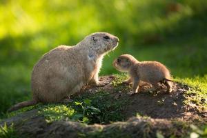 süßer schwarzschwanziger Präriehund mit einem Jungen (cynomys ludovici