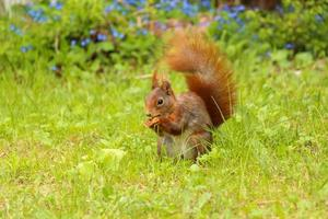 Eichhörnchen sitzt im grünen Gras und isst eine Nuss