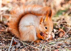 rotes Eichhörnchen nagt Kegeltanne