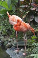 zwei karibische Flamingos