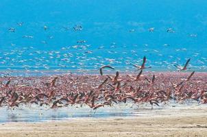 Flamingoherden