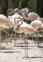 Flamingovogel