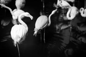 Flamingo schwarz und weiß retuschiert.