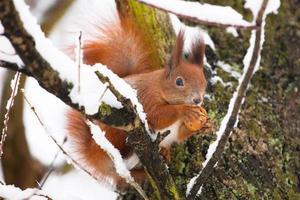 rotes Eichhörnchen sitzt auf dem Baum mit einer Nuss