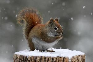 Rotes Eichhörnchen frisst Samen