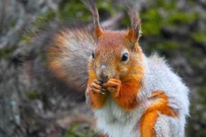 Wald wildes Eichhörnchen mit einer Nuss in Pads.
