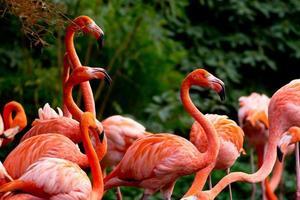 amerikanischer oder karibischer Flamingo