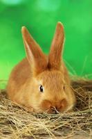 junges rotes Kaninchen im Heu auf grünem Hintergrund