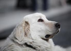 Kopfseite des großen weißen Hundes