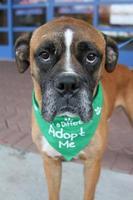 Boxerhund, trauriges Gesicht